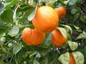 taronja pluja